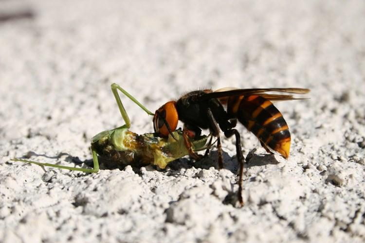 Cách trị ong đốt nhanh nhất đảm bảo hết sưng không đau