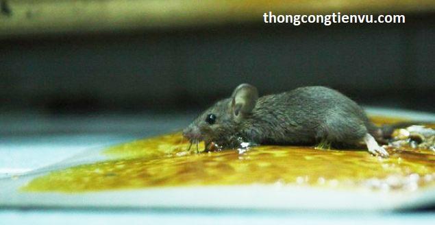 chuột xạ kêu